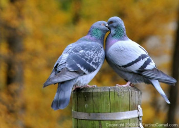 Love_birds_French_Kissing_1