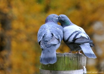 Love_birds_French_Kissing_4