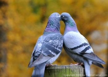Love_birds_French_Kissing_2