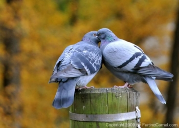 Love_birds_French_Kissing_3